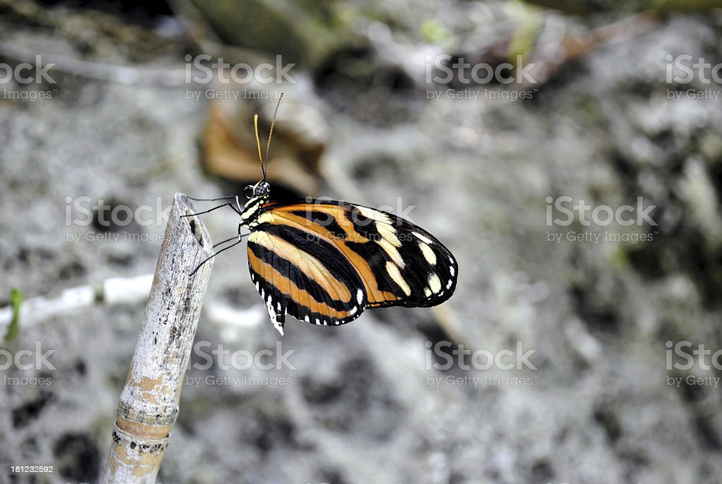 Painted lady butterfly Latin name vanessa cardui royalty-free stock photo
