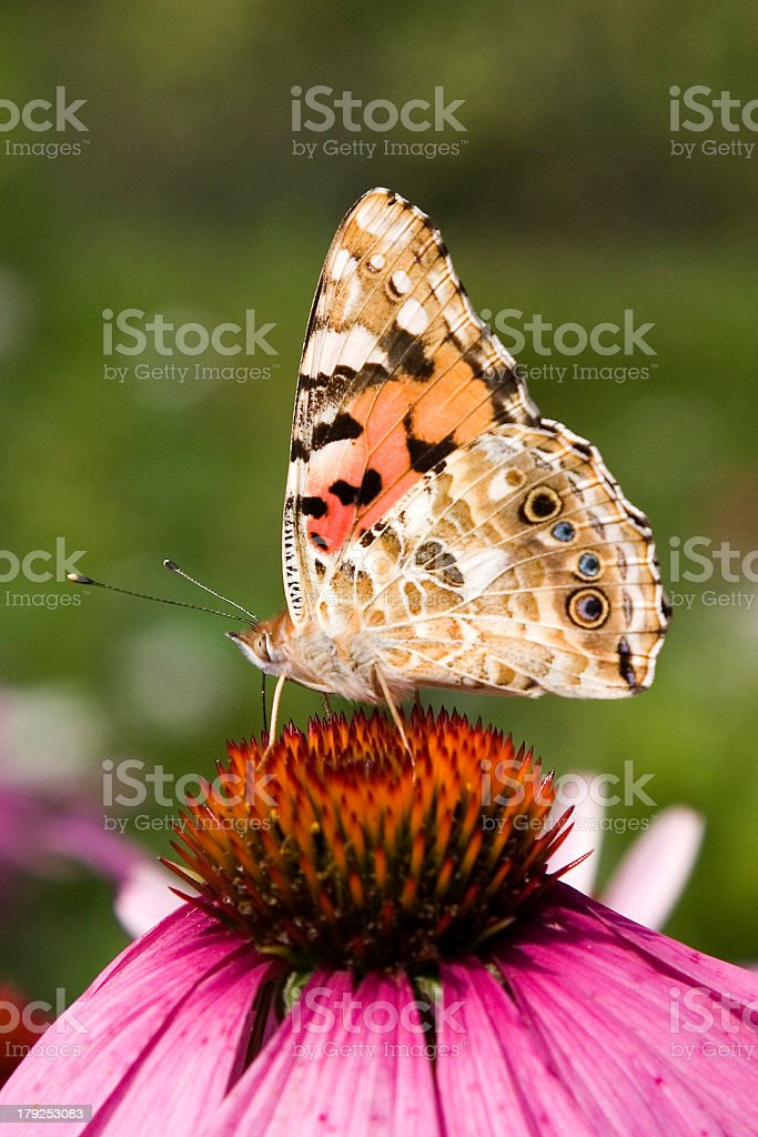 Painted lady butterfly on an Echinacea flower stock photo