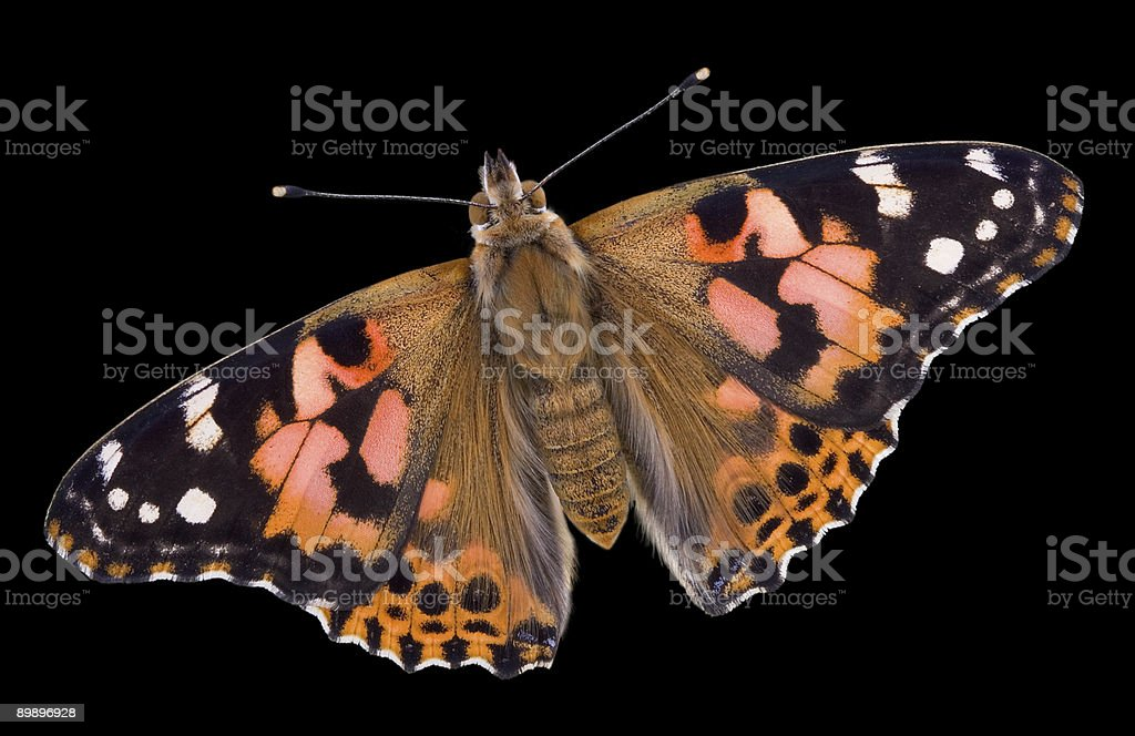 Painted Lady Butterfly on black royalty-free stock photo
