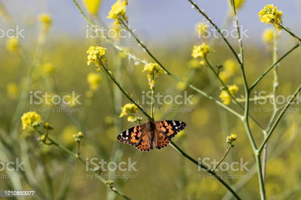 Painted lady butterfly on mustard flower blue sky in background picture id1210850077?b=1&k=6&m=1210850077&s=612x612&h=aru336kpg tmbwr4b g9tknqboaeu8jur10ojvozwt8=