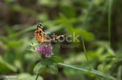 Close-up photo of a painted lady butterfly at rest on a purple clover flower