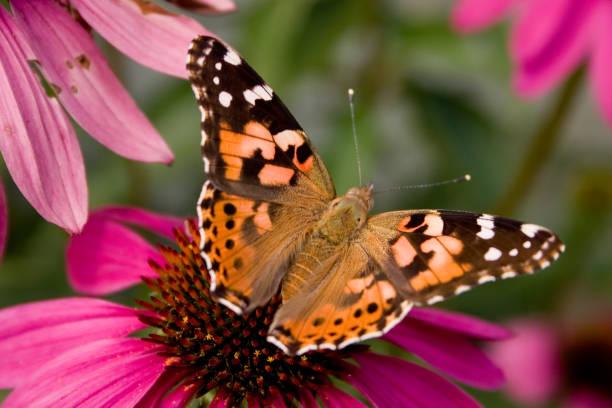 Painted lady butterfly picture id1125077491?b=1&k=6&m=1125077491&s=612x612&w=0&h=liwriwvpbe5yv8mvskmhwnw2enb4xhi9oewnydxdkt0=