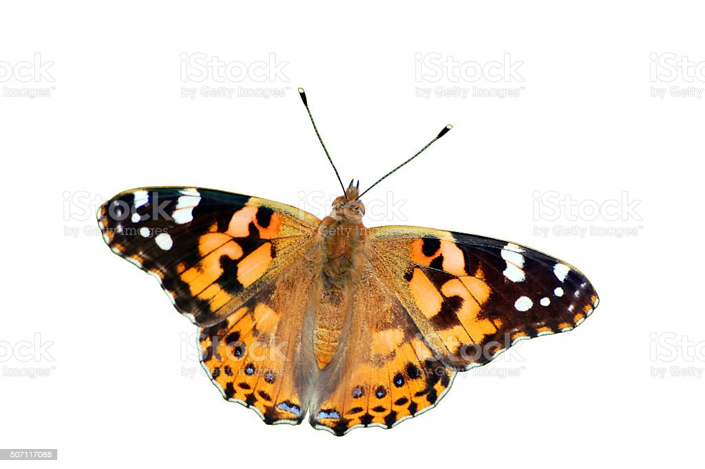 Painted Lady Butterfly stock photo