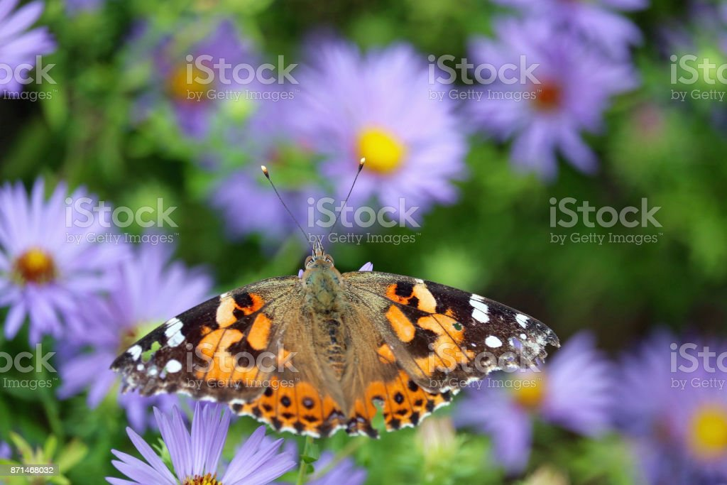 Painted Lady Butterfly Portrait stock photo