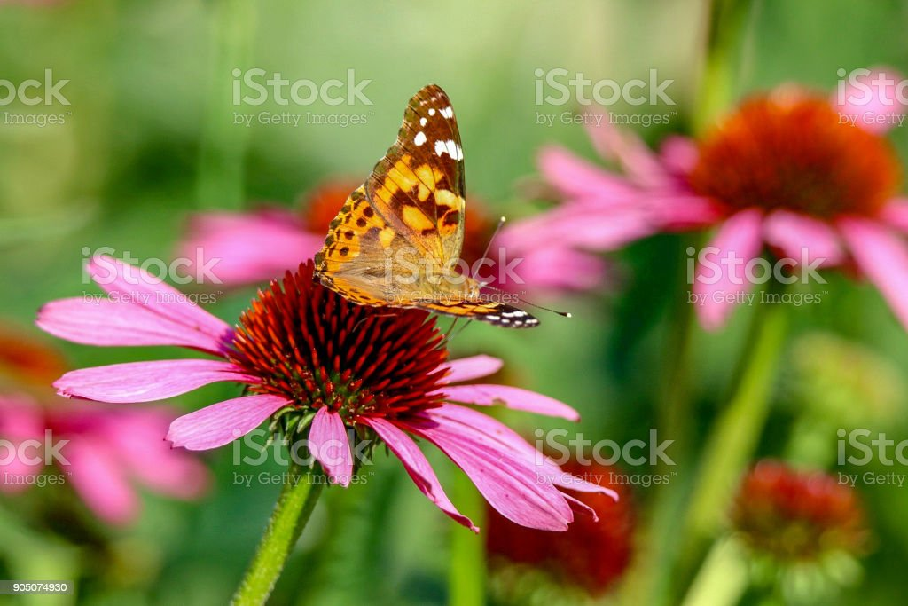 Painted Lady Butterfly sitting on a pink coneflower in the sunlight with wings up stock photo