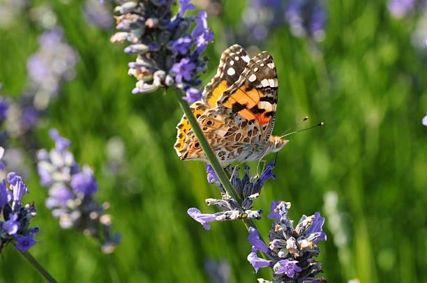 Painted lady butterfly uk picture id175671585?b=1&k=6&m=175671585&s=612x612&w=0&h=jc6nnwz9csq5txjdujns mjtmnhihobfandruztrpga=