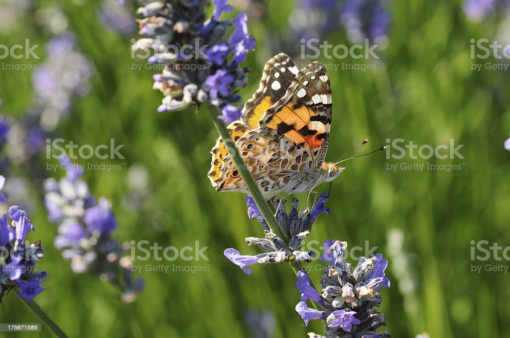 Painted Lady butterfly, U.K. stock photo