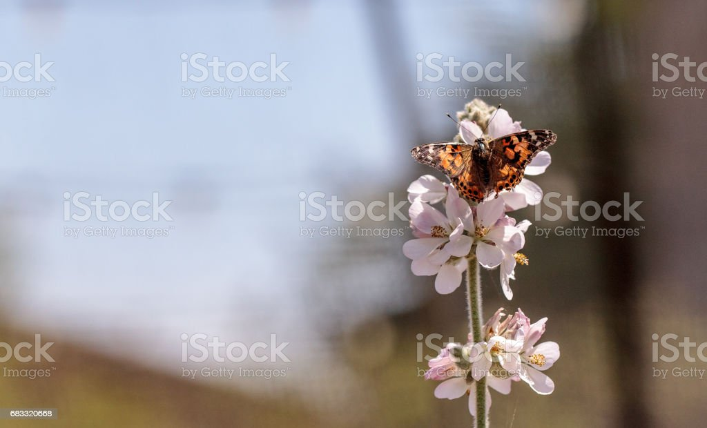 Painted lady butterfly, Vanessa cardui royalty-free stock photo