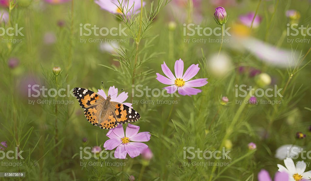 Painted Lady Feeding stock photo