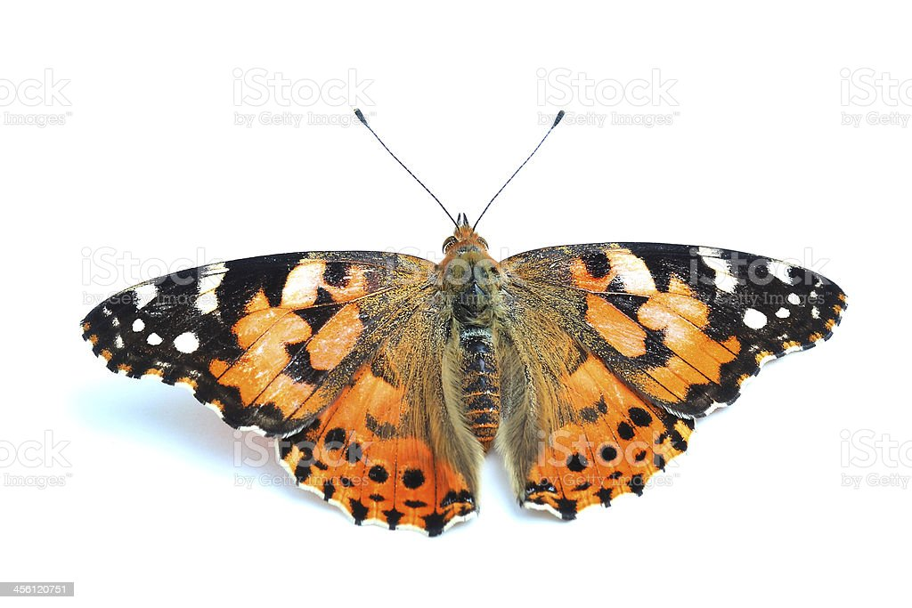 Painted Lady (Vanessa cardui) isolated on white stock photo