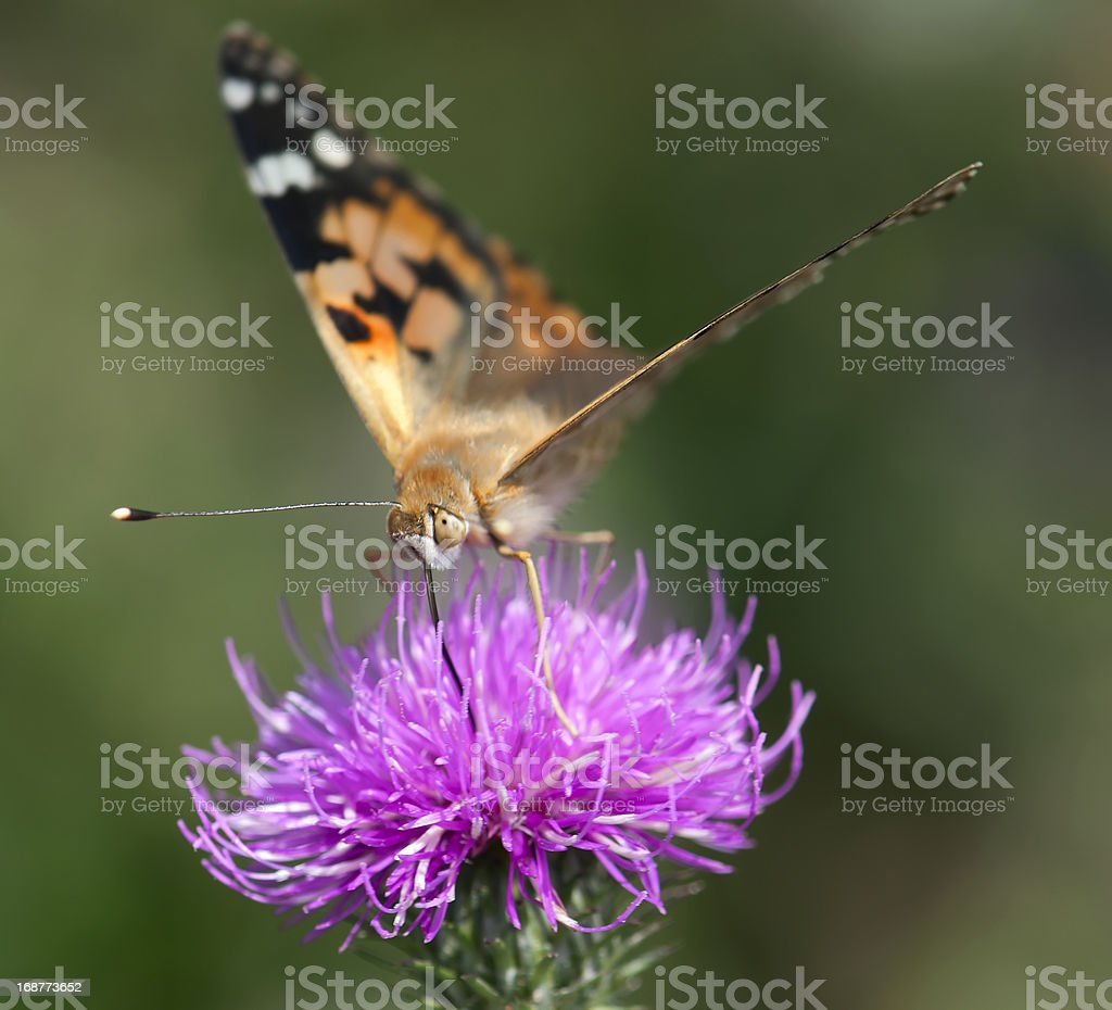 Painted lady (Vanessa cardui) on purple flower. royalty-free stock photo