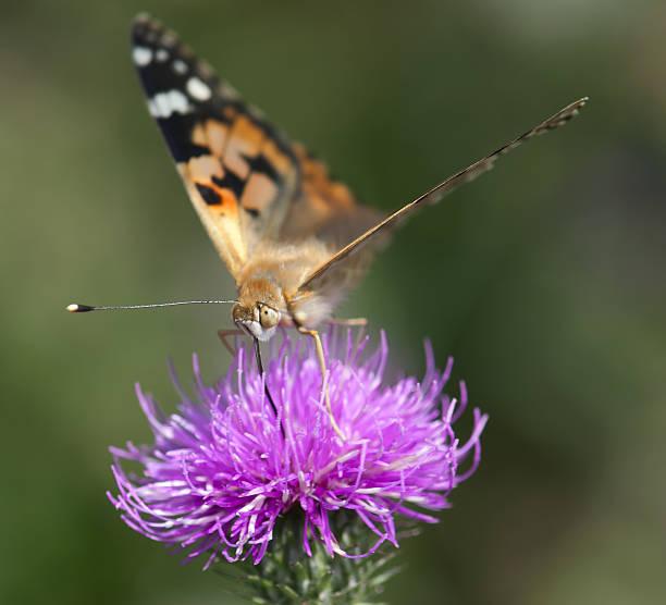 Painted lady (Vanessa cardui) on purple flower. stock photo