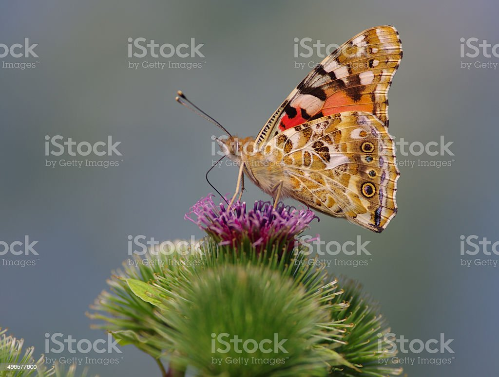 Painted lady (Wanessa cardui) stock photo