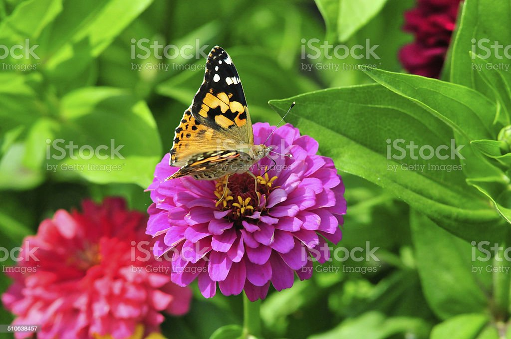 Painted Lady (Vanessa cardui). stock photo