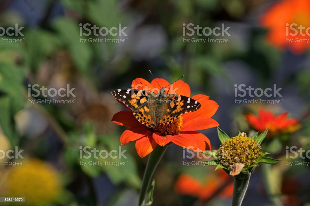 Painted Lady stock photo