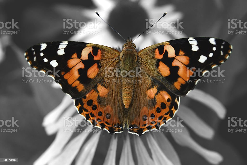 Painted Lady royalty-free stock photo