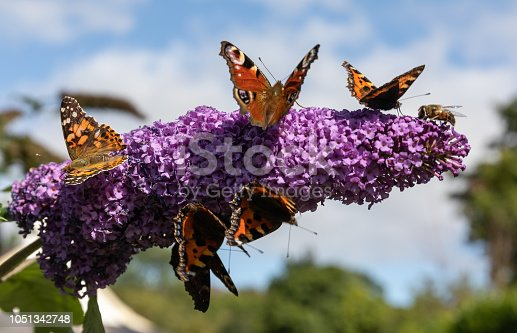 Painted Lady, Tortoiseshell & Peacock Butterflies, plus a honey bee, taking full advantage of some early September sunshine on a Buddleia Flower. Kenmare, Co. Cork (03/09/18)