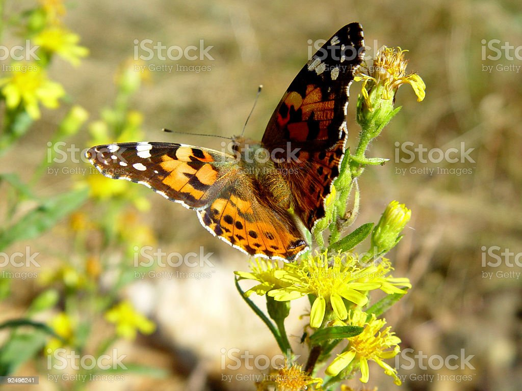 Painted Lady Vanessa cardui butterfly royalty-free stock photo