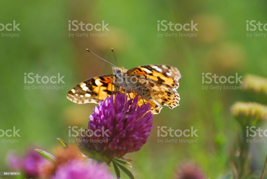 Painted Lady, Vanessa cardui, extracting nectar from a flower. zbiór zdjęć royalty-free
