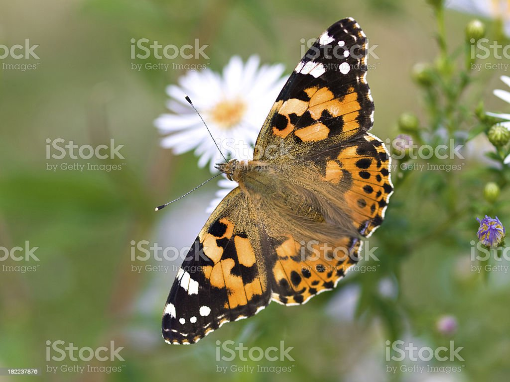 Painted Lady - Vanessa cardui stock photo