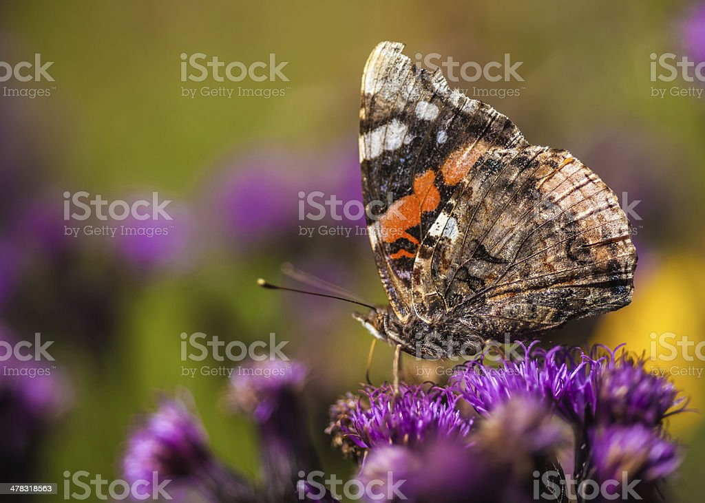 painted lady / vanessa cardui royalty-free stock photo