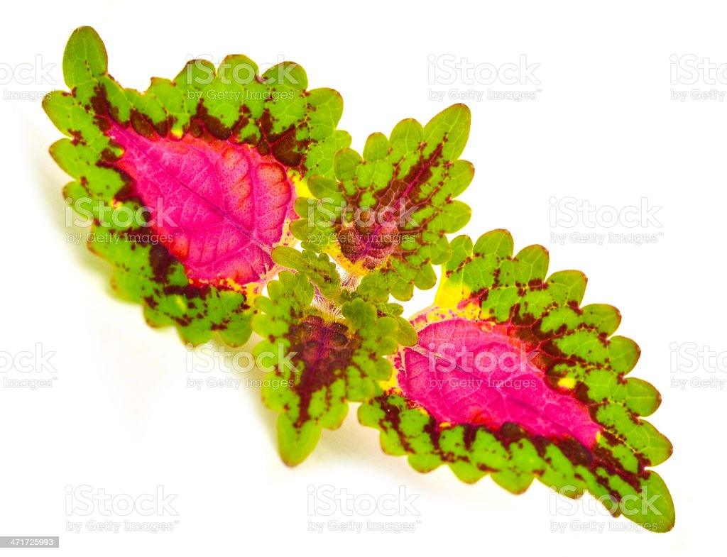 Painted nettle - coleus royalty-free stock photo