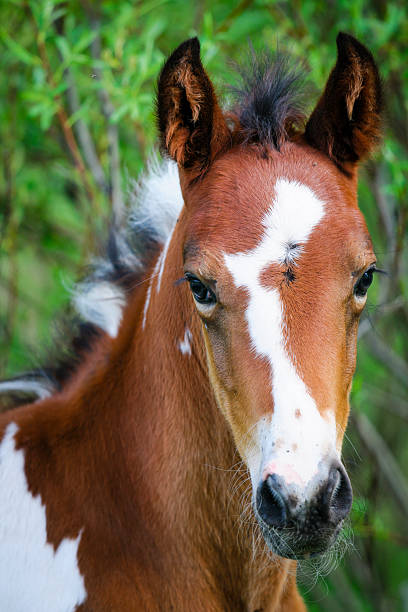 Painted Pony Close-up head shot of a baby painted pony palomino stock pictures, royalty-free photos & images