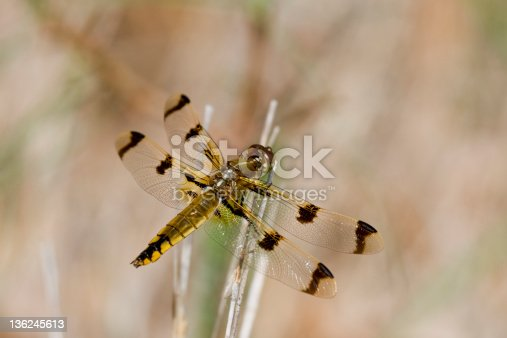 A female orange and brown Painted Skimmer dragonfly perched on a stalk in a marshy.  Muted orange/brownish backgound.