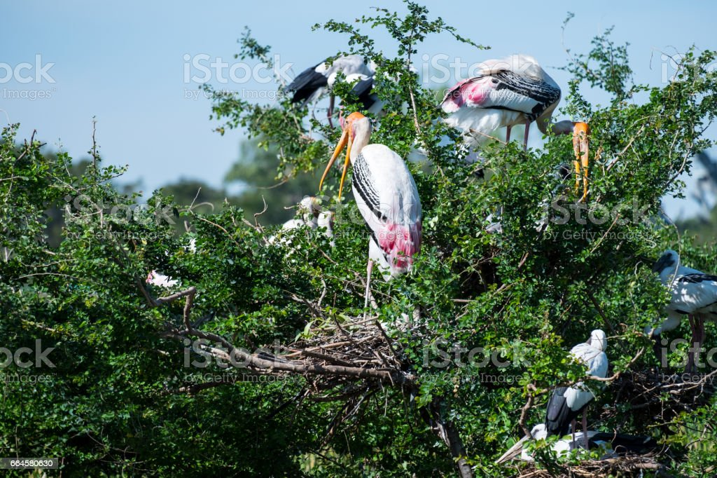 Painted Stork royalty-free stock photo