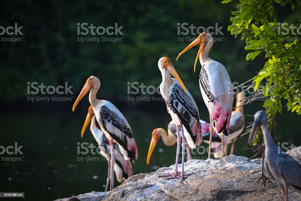 Painted storks on a rock stock photo