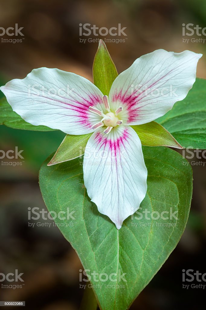 Painted Trillium Flower royalty-free stock photo