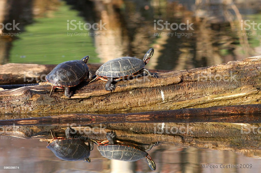 Painted turtle in spring royalty-free stock photo