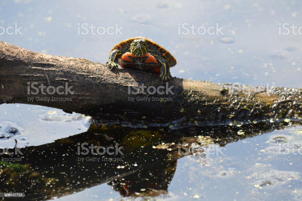 Zierschildkröte - Lizenzfrei Ast - Pflanzenbestandteil Stock-Foto