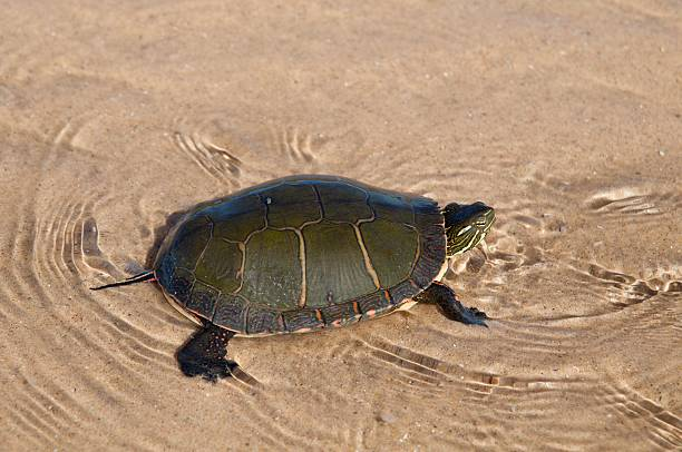 Painted Turtle Swimming in Lake Michigan stock photo