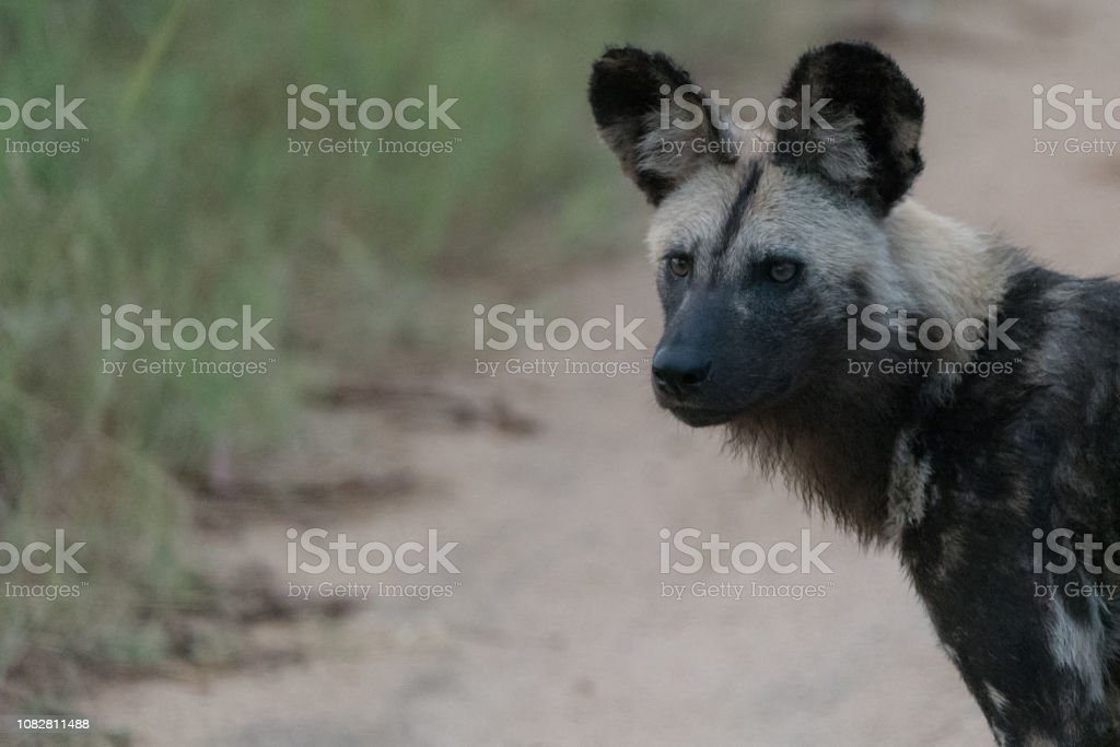 Painted wolf stock photo