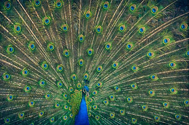 painting of a peacock - pfau bilder stock-fotos und bilder