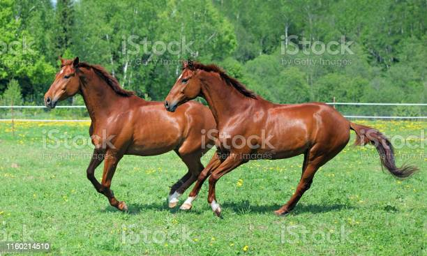 Photo of Pair beautiful warmbloods running together in summer