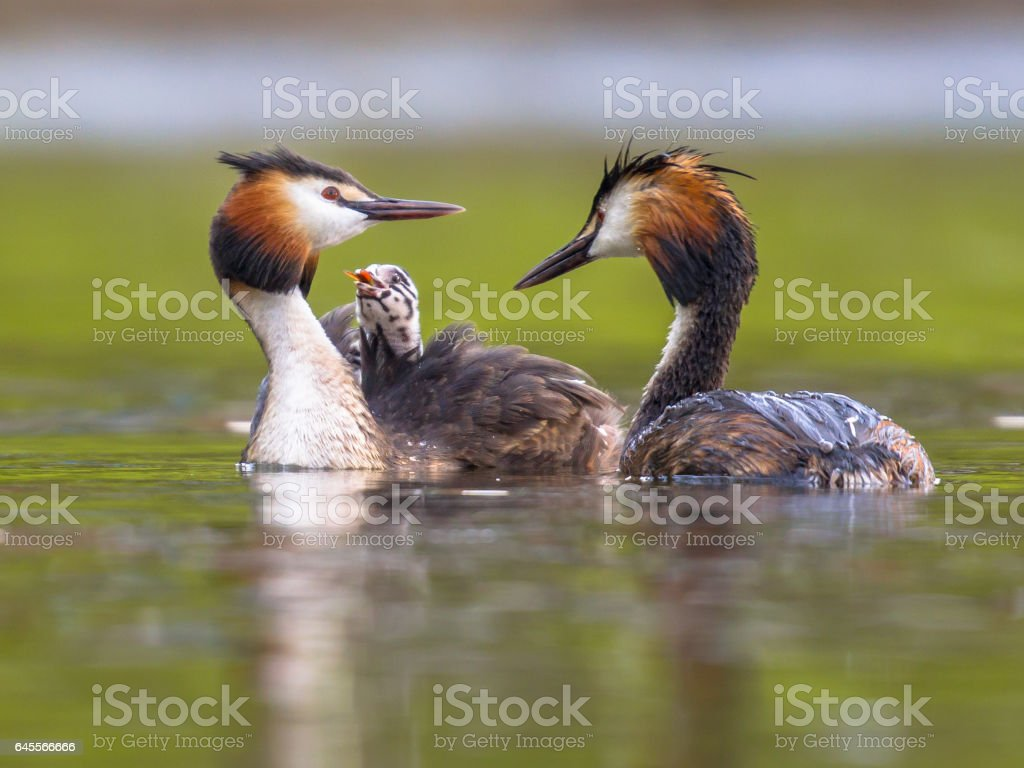 Pair Great crested grebe swimming with chicks stock photo