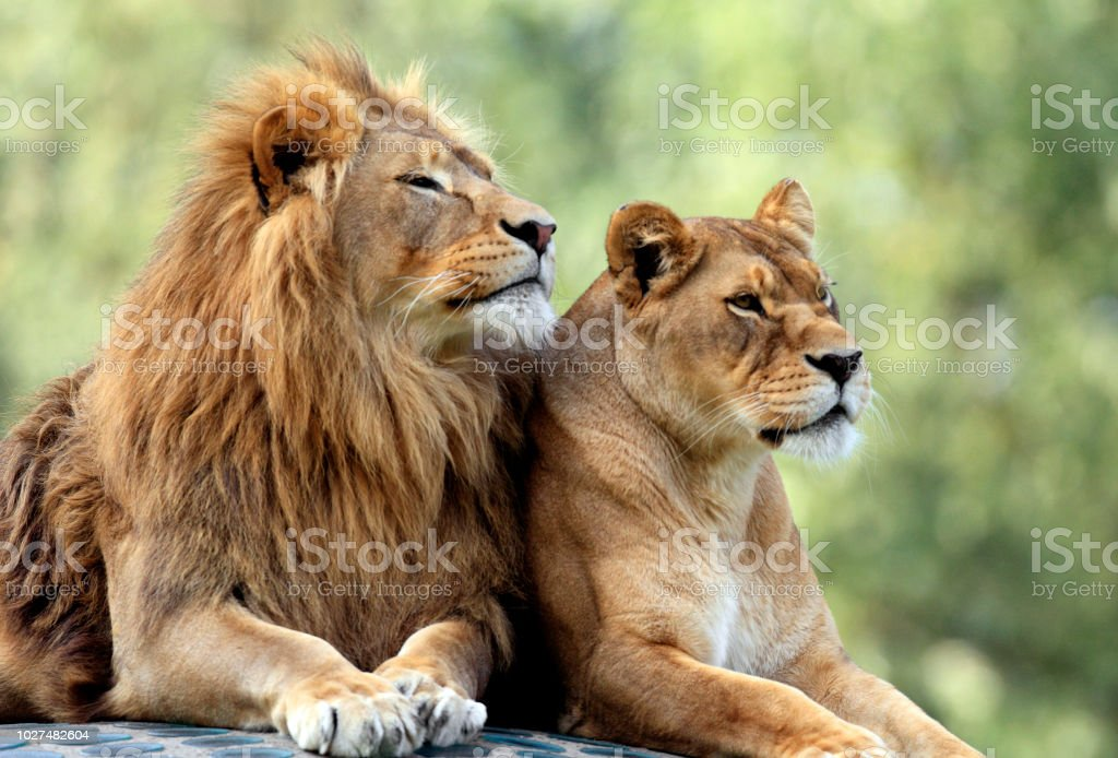 Pair of adult Lions in zoological garden stock photo