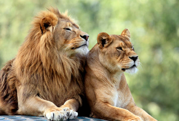 Pair of adult Lions in zoological garden Couple of adult Lions - male and female - resting peacefully animal hand stock pictures, royalty-free photos & images