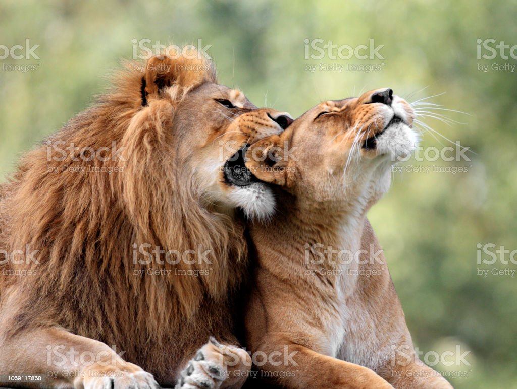 Erwachsenen Löwenpaar Im Zoologischen Garten Stockfoto Und