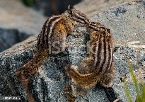 Least Chipmunks Kissing on a Rock