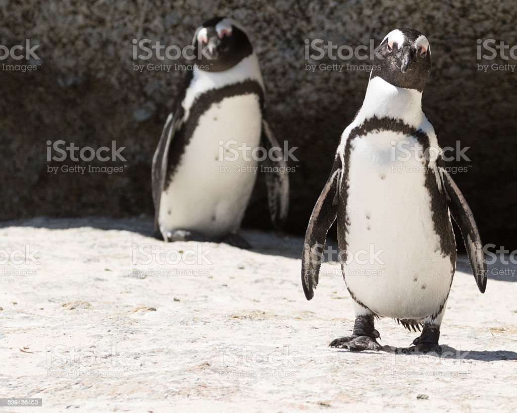 Pair Of African Penguins (Spheniscus demersus), At Boulders Beach stock photo