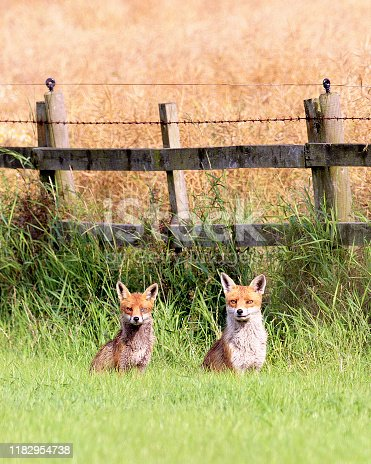 A pair of Red  Foxes (Vulpes vulpes), the larger male to the right, alert to danger by the side of a wheatfield in Yorkshire. The female, to the left, has a damaged or infected eye.