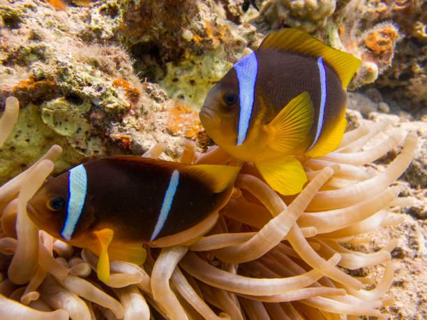Pair of Anemonefish (clownfish) hiding in an Anemone - Underwater stock photo