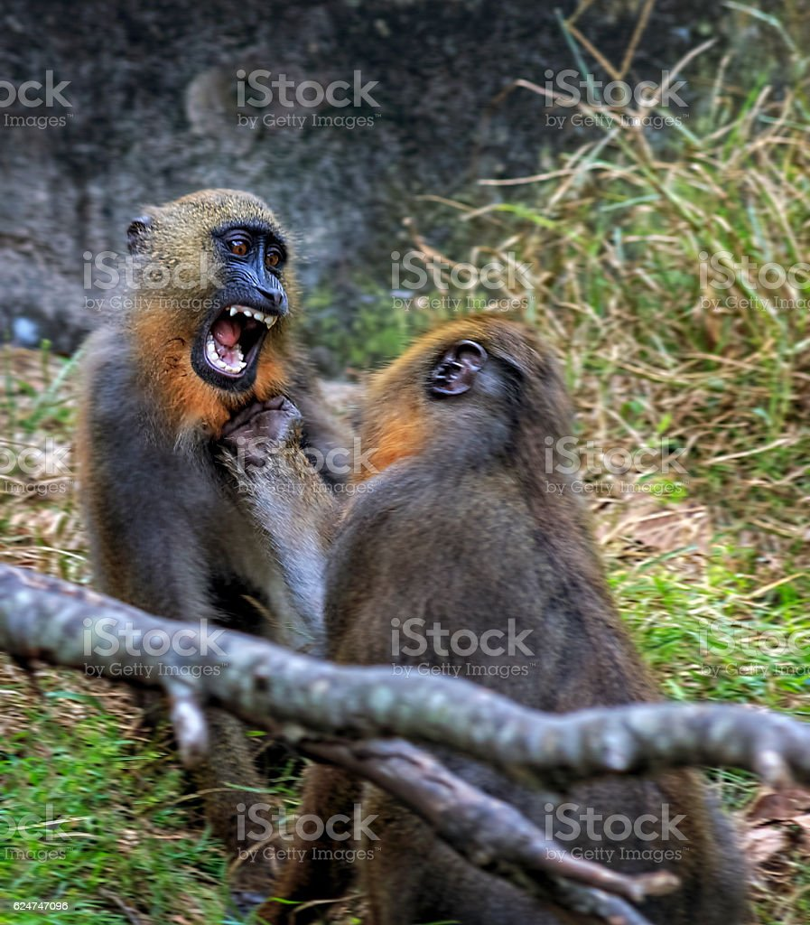 Pair of Apes have aggressive Playful encounter stock photo