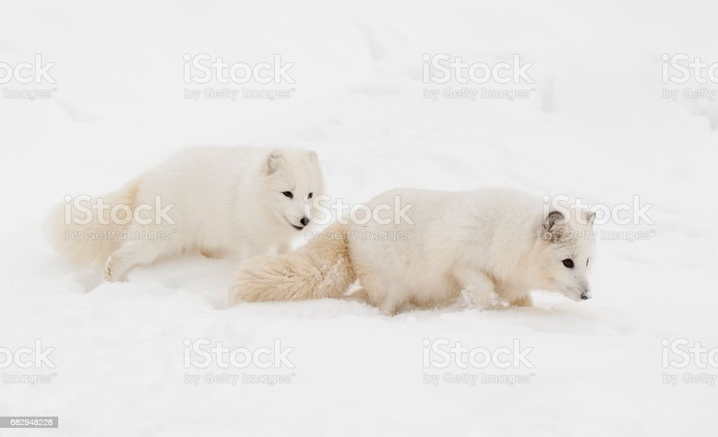 Pair of arctic fox on snow hill with one following the other down the hill foto de stock libre de derechos