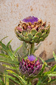 Pair of artichoke with the big flowers on the bush