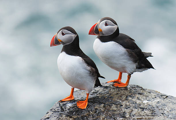 Pair of Atlantic Puffins Pair of Atlantic puffin (Fratercula arctica) resting on a ledge at the top of a cliff. Papa Westray, Orkney Islands, Scotland.  auk stock pictures, royalty-free photos & images