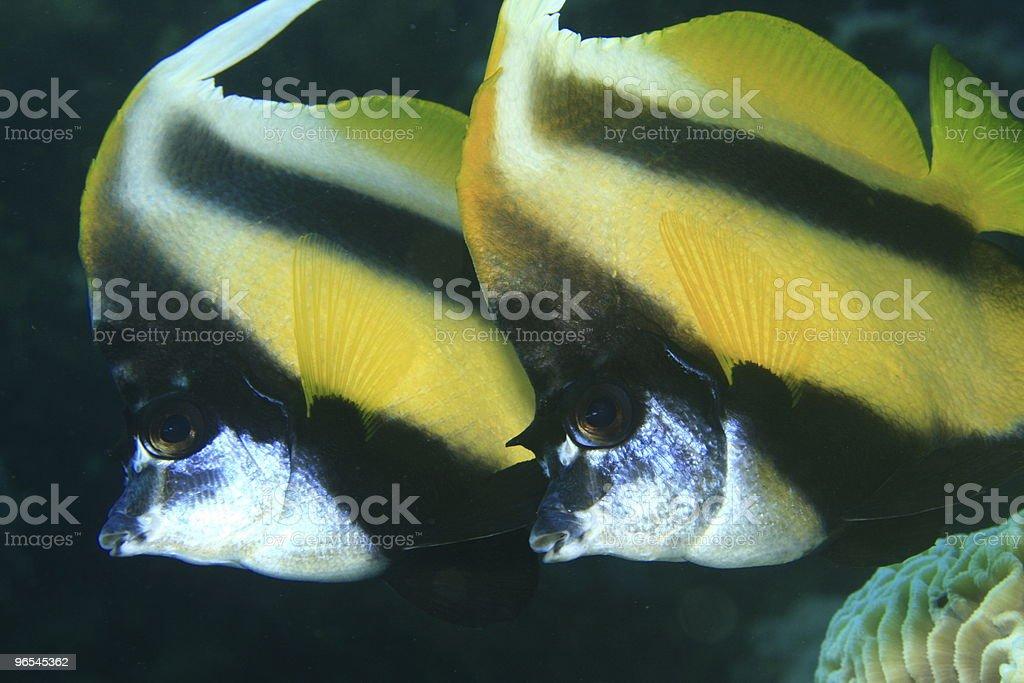 Pair of Bannerfish royalty-free stock photo